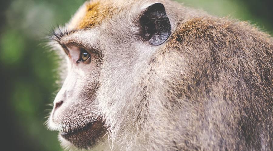 Matične ćelije pobedile Parkinsonovu bolest kod majmuna